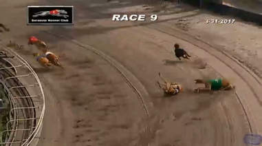 A greyhound, FF Adam, who was euthanized after suffering a broken leg on the track