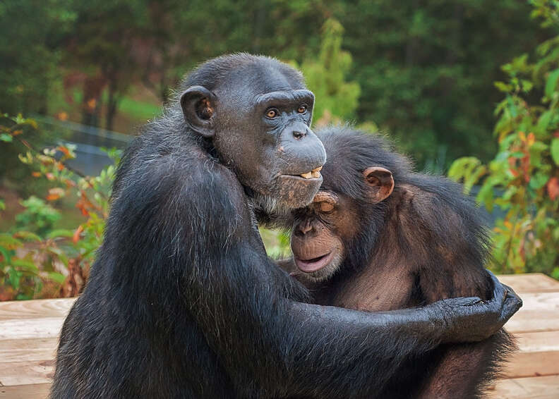 Retired lab chimps first time outside at Project Chimps sanctuary