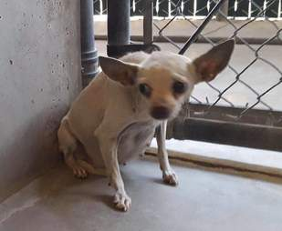 Claire, a stray pregnant Chihuahua, in a San Bernardino shelter