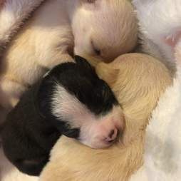 Tiny Chihuahua puppies sleeping together