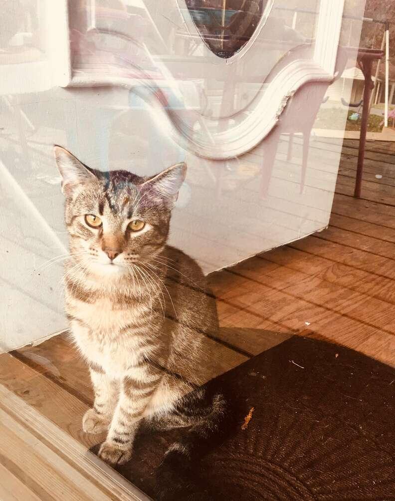 Buddy, a loner tabby cat, rescued by Jazmin Felder