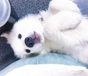 Great Pyrenees puppy lying on back