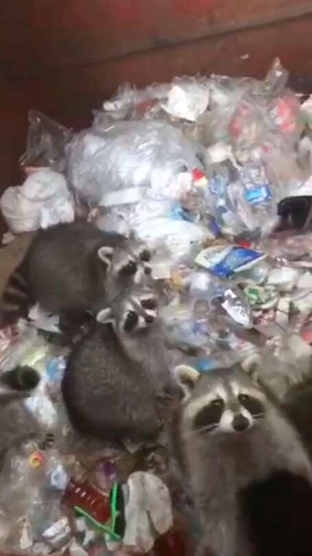 raccoons stuck in dumpster