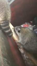 raccoons stuck in dumpster