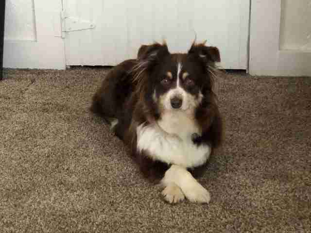 Honey the stray Australian shepherd at her foster home