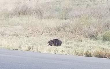 A picture of a lost dog or badger in Southern Colorado