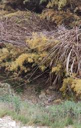 Honey's den in an arroyo thicket