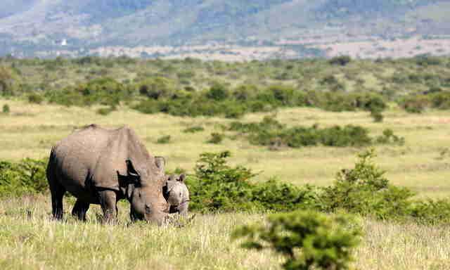Wild rhinos in Africa