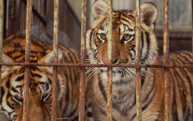 Caged tigers at a farm in China