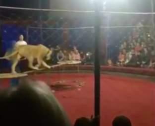 circus attack lion Russia