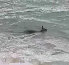 A kangaroo going for a swim at Safety Beach in Victoria, Australia