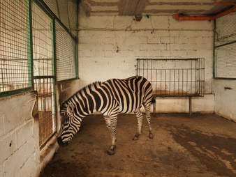 Zebra inside small zoo enclosure