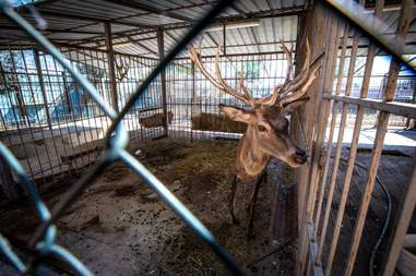 Deer inside small, dirty zoo enclosure
