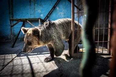 Sad looking bear inside Albania Zoo