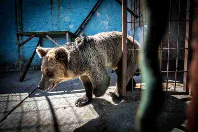 Sad looking bear inside Albania Zoo