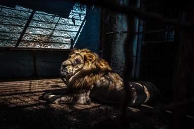 Lion inside dark cage