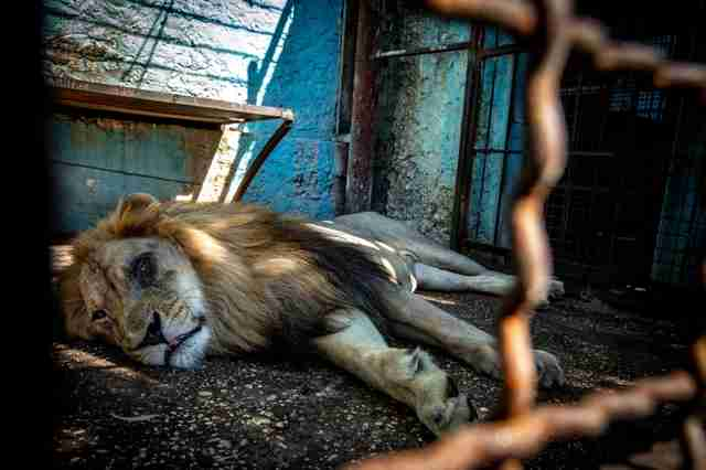 Captive lion with eye inside derelict zoo