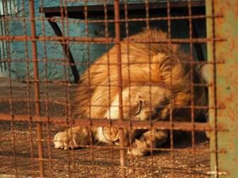 Lion inside tiny cage
