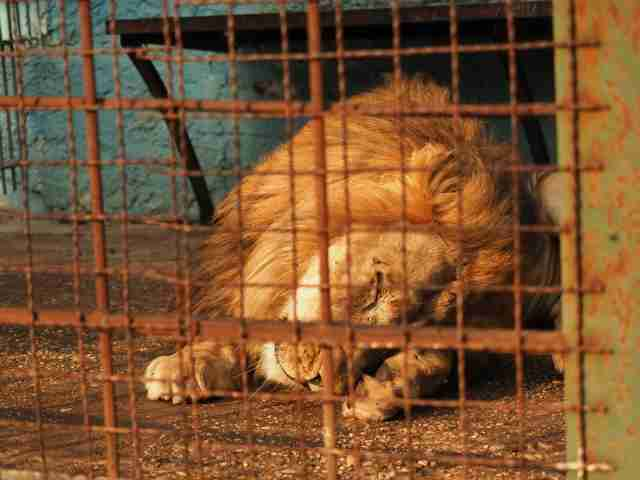 Lion inside tiny cage