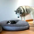 Alaskan malamute shares dog bed with tiny cat