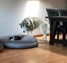 Alaskan malamute finds cat in her huge bed