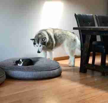 Big Dog Surprised To Discover Someone Tiny Has Taken Over Her Bed