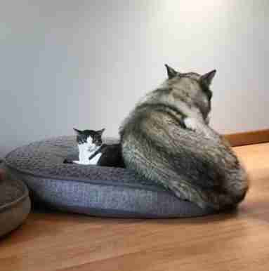 Alaskan malamute shares her bed with small rescue cat