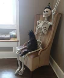 Rescue cat Onyx climbs on Halloween skeleton decoration