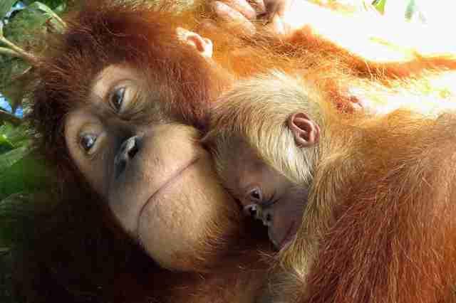 Orangutan Mom Is So Proud To Hug Her Newborn Baby