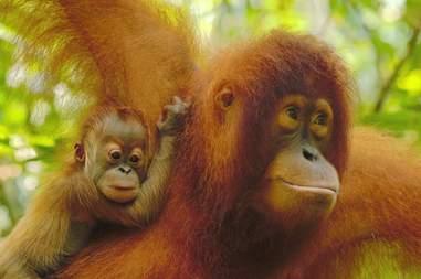 orangutan mom sumatra