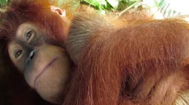 orangutan sumatra newborn