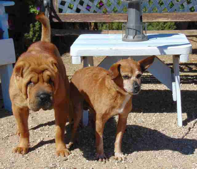 Bonded Chihuahua and Shar-Pei standing outside together