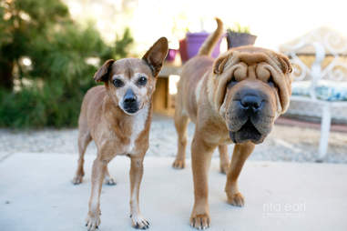 Chihuahua and Shar-Pei standing next to each other