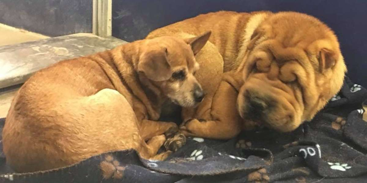 Bonded Chihuahua And Shar Pei Are Looking For A Home Together The Dodo