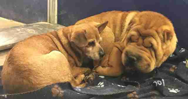 Bonded Shar-Pei and Chihuahua in shelter kennel