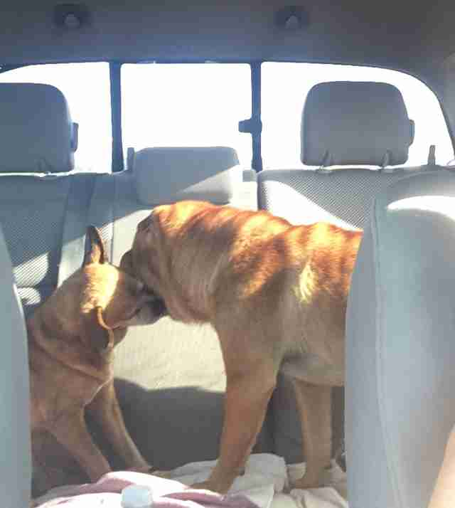 Bonded Chihuahua and Shar-Pei riding in the backseat of car