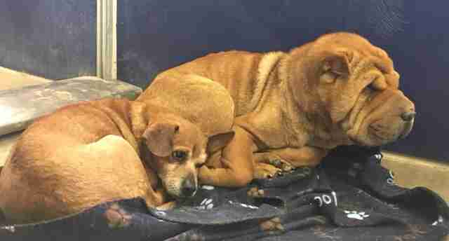 Bonded Chihuahua and Shar-Pei in shelter kennel