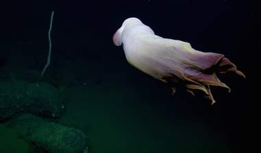 Ghost-like dumbo octopus spotted by scientists off California coast