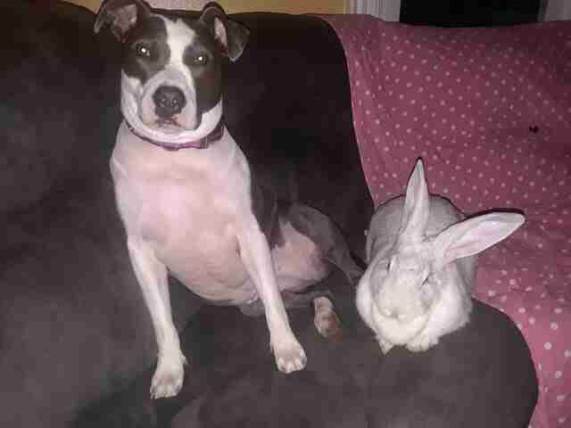 pit bull rescue rabbit