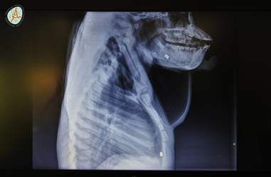 X-Ray showing bullets in chest and jaw of orangutan