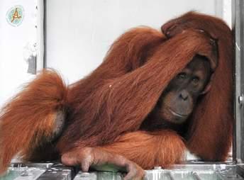 Orangutan covering her head in cage