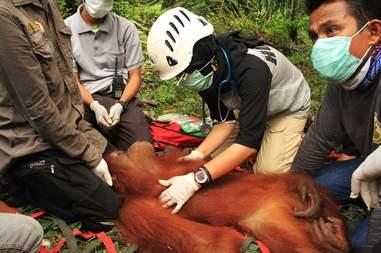 Rescuers and vet helping orangutan