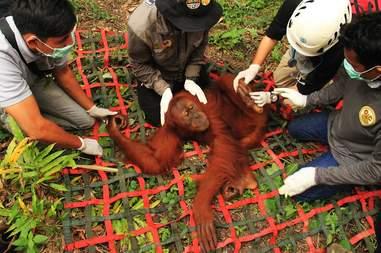 Rescuers helping orangutan on Sumatran plantation