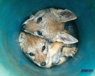 Woman rescues two baby jackals from pipe in South Africa