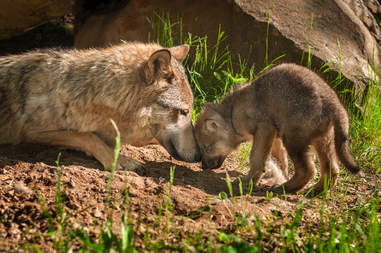 Gray wolf adult touching heads with puppy