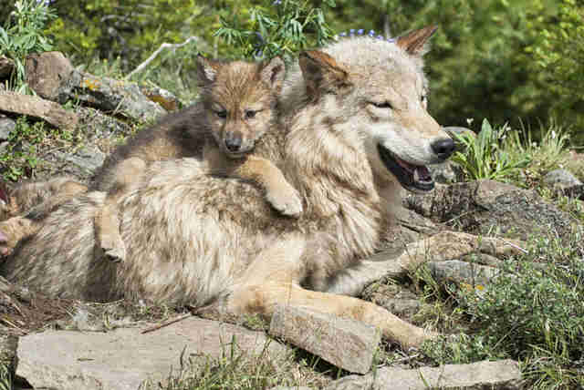 Baby wolf lying on mother's back