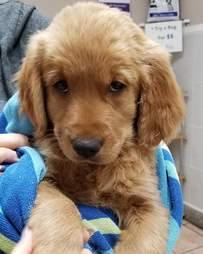 Golden retriever puppy in towel