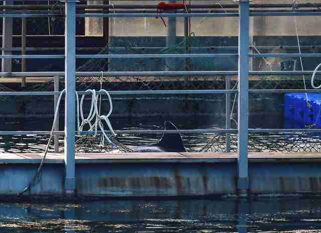 Captive orca in holding pen in Russia