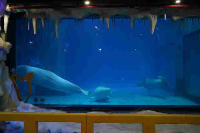 Captive belugas inside tank at Chinese mall