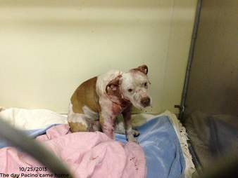 pit bull used as bait dog